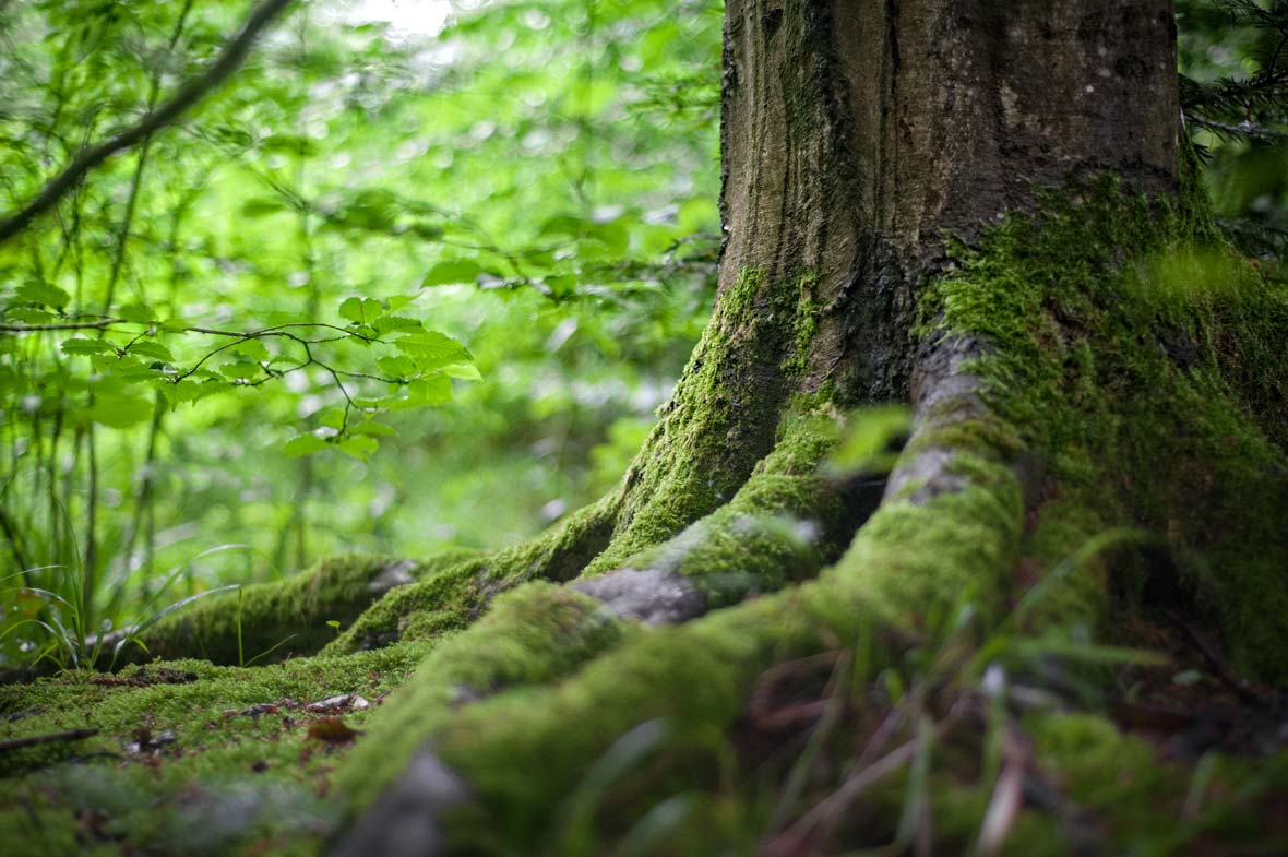 A mossy tree with deep roots in the forest.